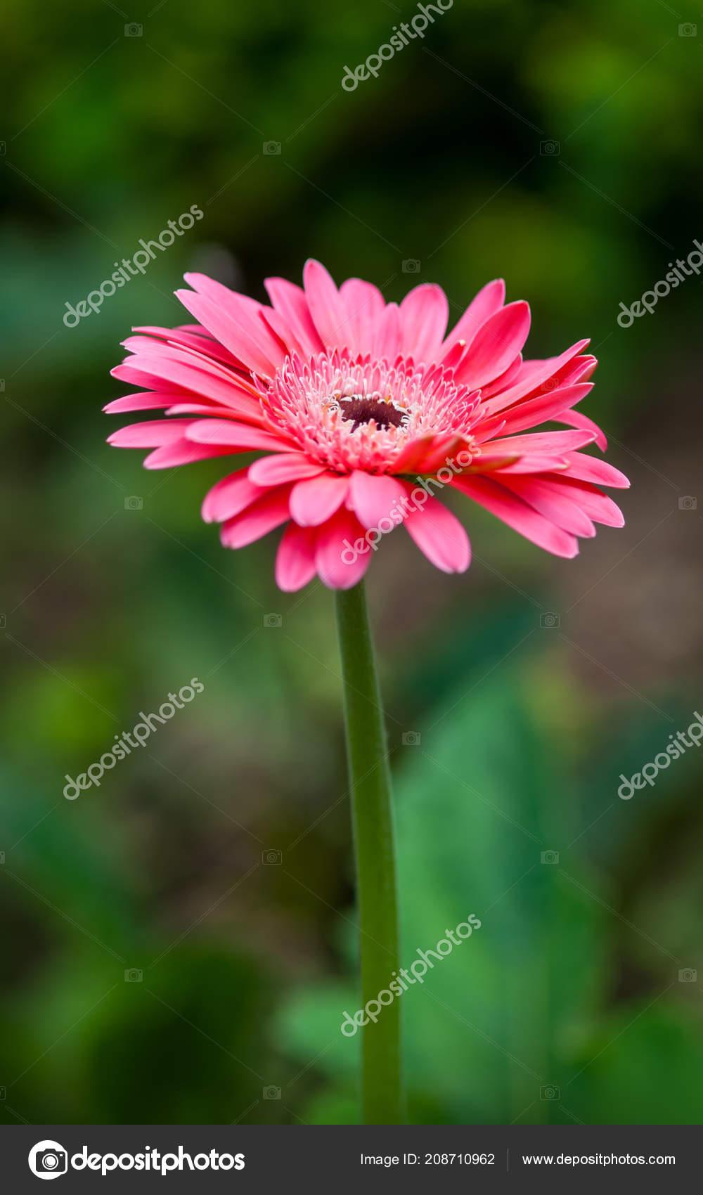 Close Beautiful Pink Gerbera Flower Background Green Garden