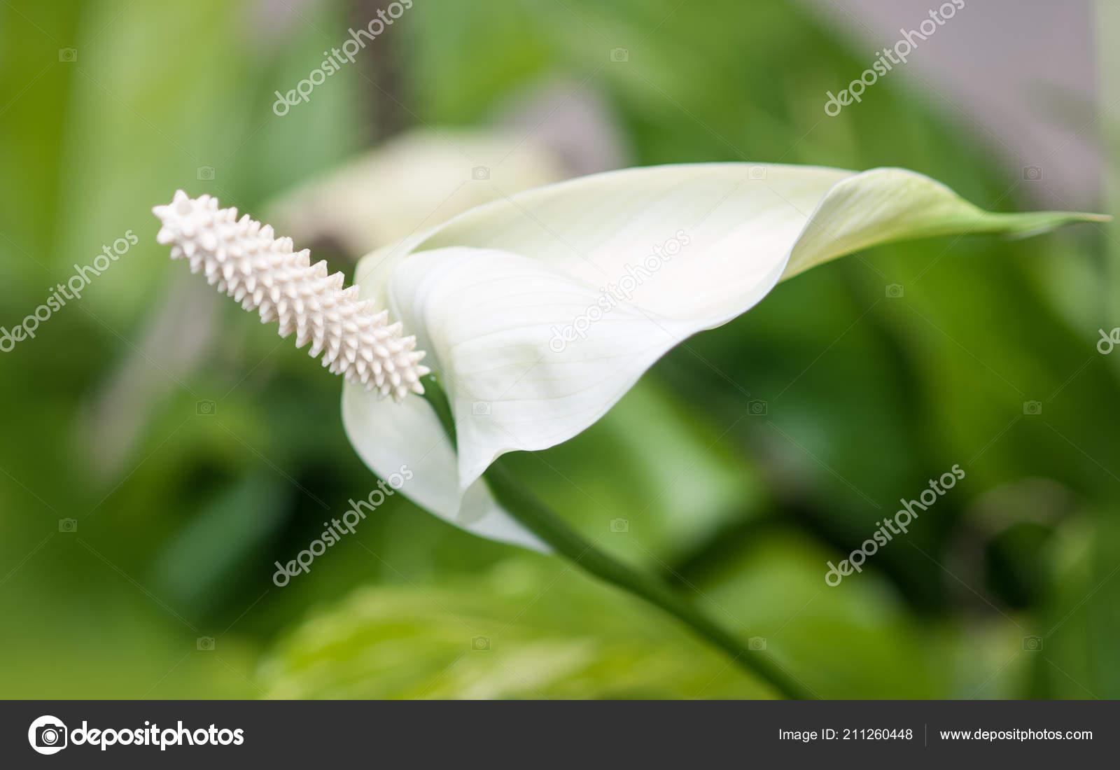 Photo Exotic Tropical White Anthurium Flamingo Flower Nature Garden