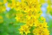 Lysimachia punctata (zahrada Loosestrife, žlutý Loosestrife nebo zahradní žlutý Loosestrife)