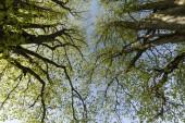 mächtige Äste von zwei Bäumen mit jungen Blättern gegen den Himmel