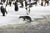 A király pingvin próbál partra a latyak a Salisbury síkságon, a Dél-Georgia az Antarktiszon