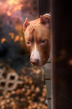 Nature Autumn Animals Leaves Dogs Iron Pitbull