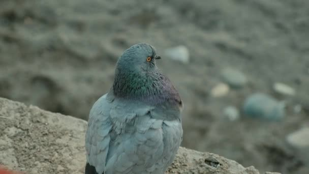 Bird dove shot very close  The grey dove sits on the ground or sand