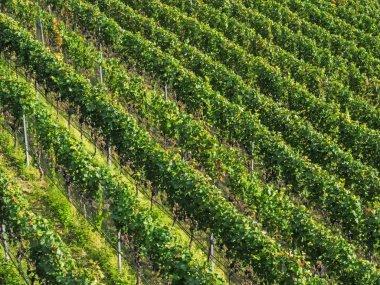 Aerial view of vineyards, Alto Adige