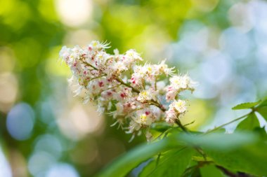 Natural background. Blooming chestnut in the evening sun. The inflorescence of a flowering chestnut closeup on blurred background