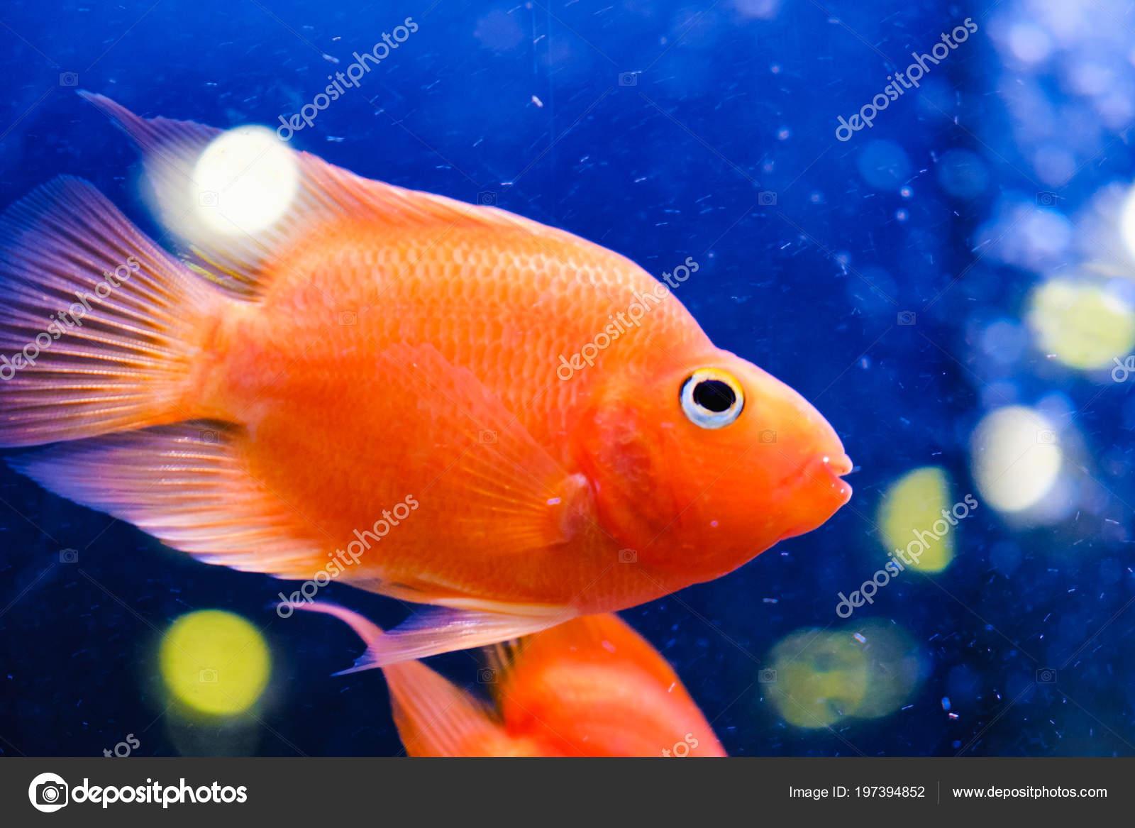 Beautiful Fish Aquarium Goldfish Aquarium Fish Background Aquatic Plants Stock Photo C Bravissimos 197394852