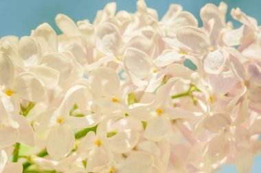 lilac branch blossoming flower background,  beautiful.