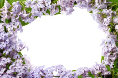 Lilac branch blossoming flower isolated on white,  blossom beautiful.