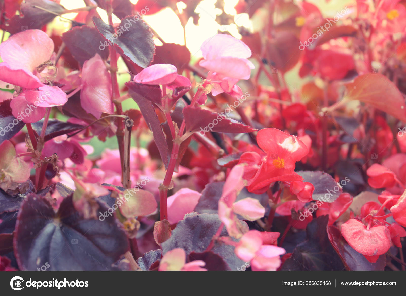 Background Of Beautiful Natural Red And Pink Begonia Flowers