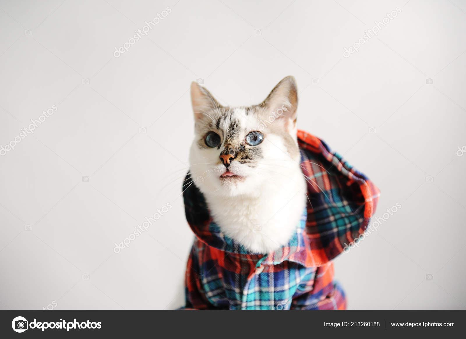 Gatto Dagli Occhi Azzurri Lanuginoso Bianco In Una Camicia A Quadri