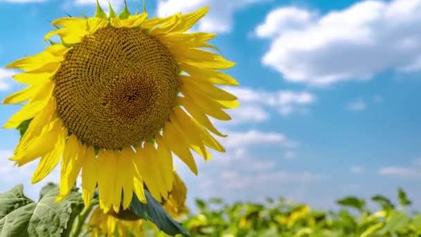 Velká hlava slunečnice proti modrému nebi.