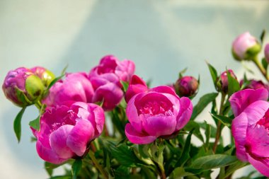 Bunch of fresh peonies. Floriculture and floristics theme.