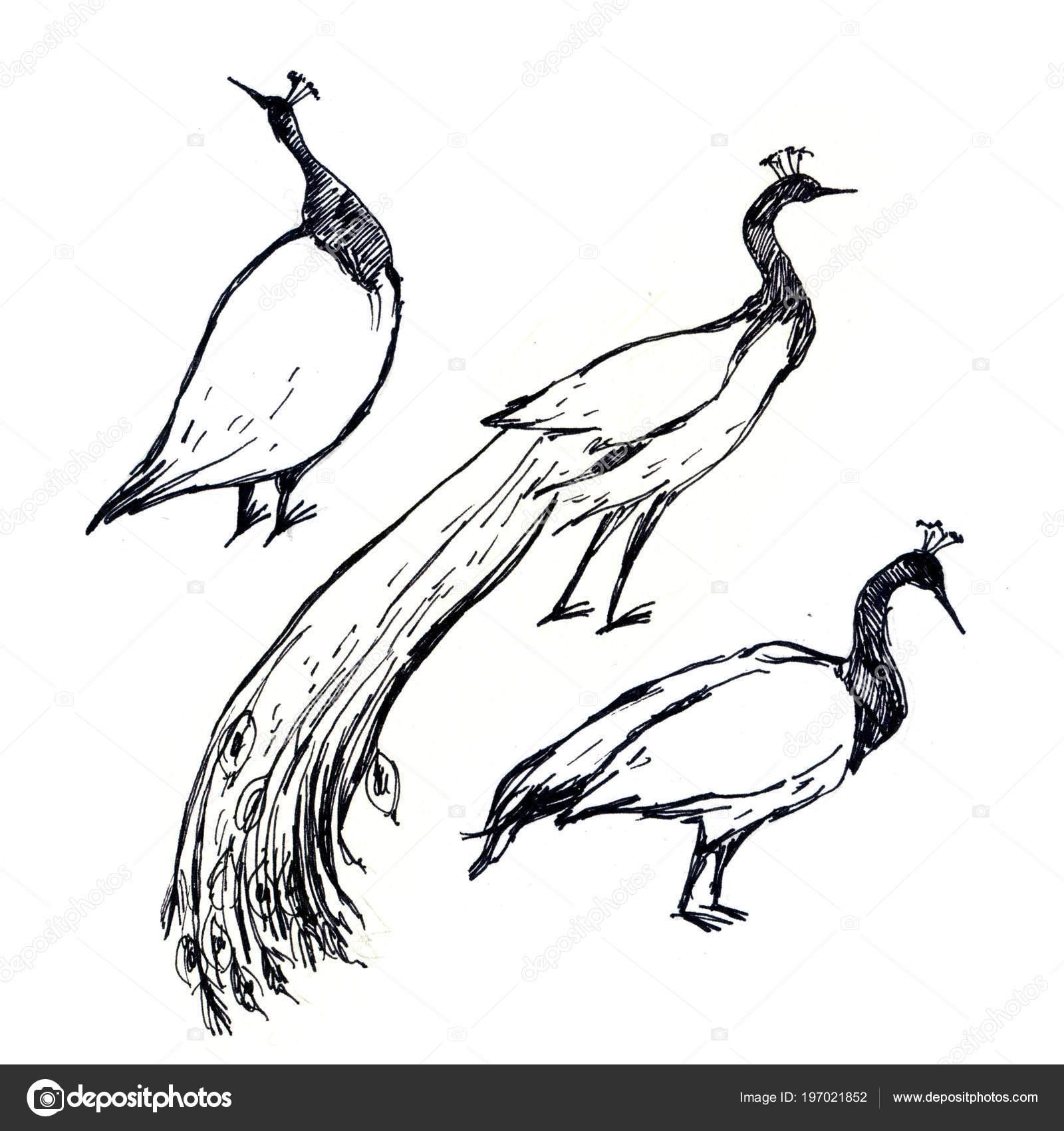 Ilustración Dibujo Pluma Blanco Negro Aves Pavo Real Aislado Sobre ...