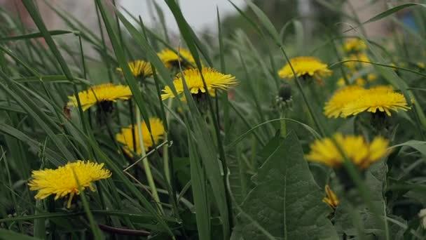 Zblízka pohled na krásné žluté pampelišky na louce foukajícím větrem