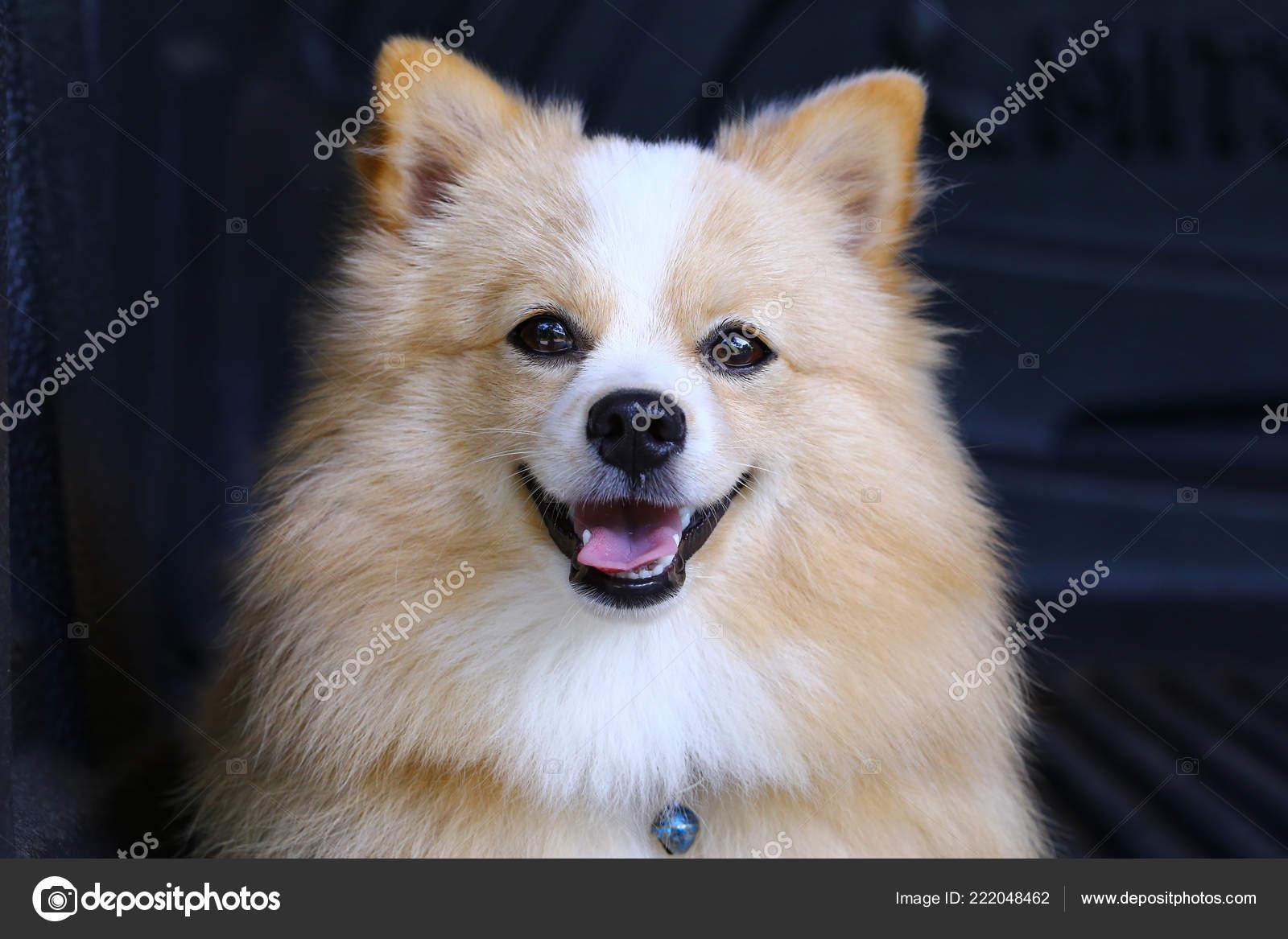 Pomeranian Chihuahua Mix Dog Brown Sarawasi Standing Looking Forward