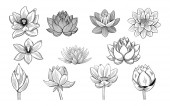 Lotus vázlatok gyűjteménye. lotuses, a rügyek és levelek a vintage stílusú.