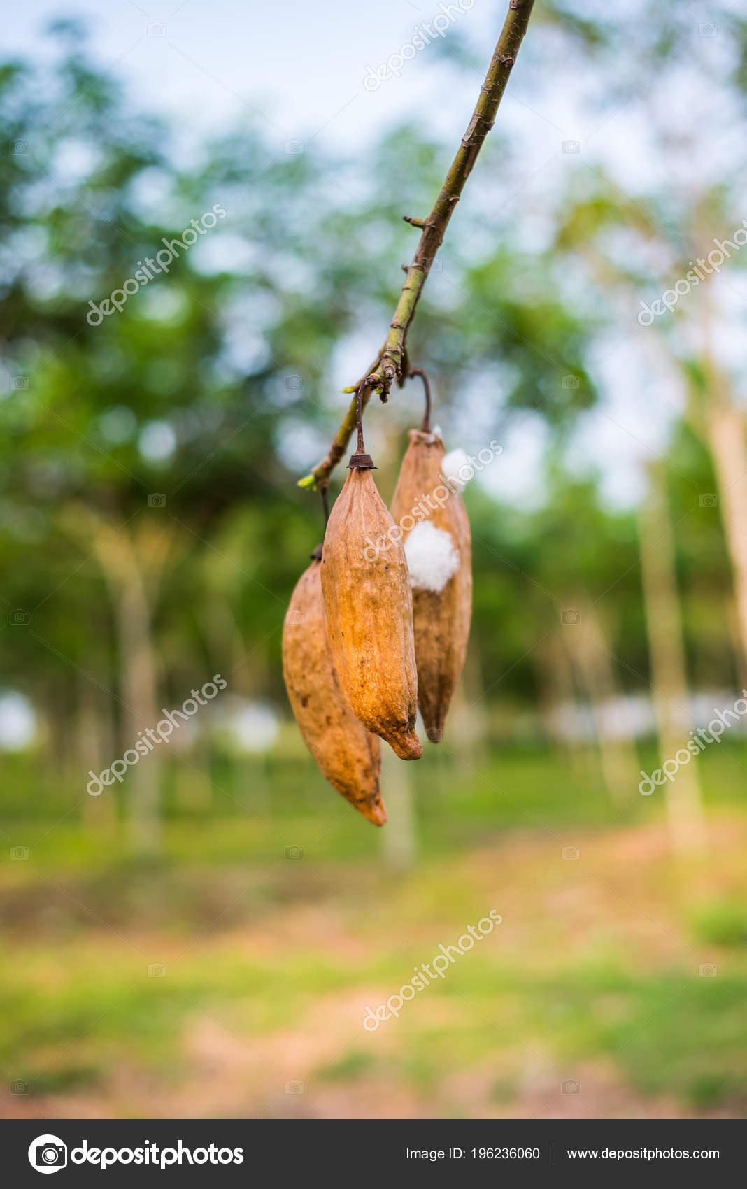 Kapok Tree Nature — Stock Photo © petchara-jan_@hotmail com #196236060