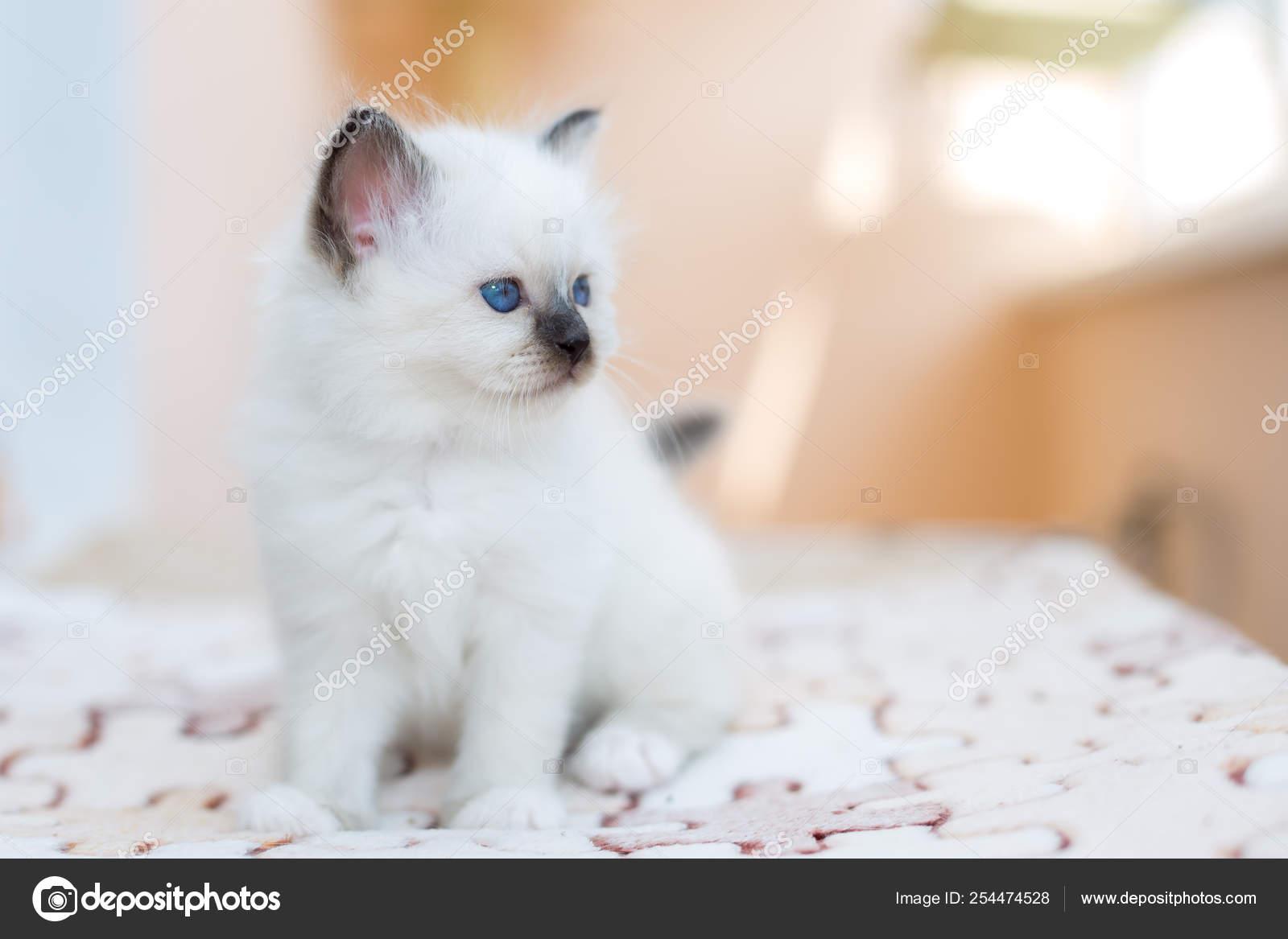 Kitten Cat Breed Sacred Burma On A Light Background Stock Photo C Vadimborkin 254474528