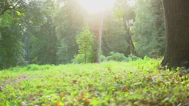Kouzelný pohádkový les se stromy, na slunci na sluníčku. Teplé sluneční paprsky osvětluje kmeny nádherných stromů a trávy. Vzrušující jasné světlo půvabného lesa v fascinující kráse