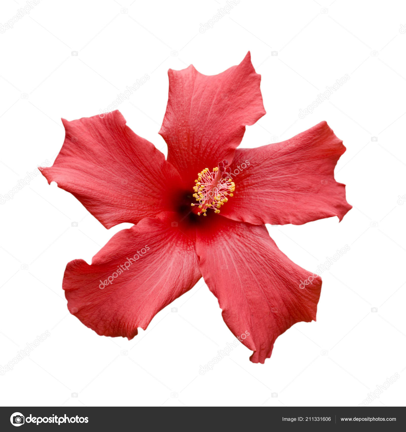 Brilliant San Diego Red Tropical Hibiscus Focus Pistil Stock Photo