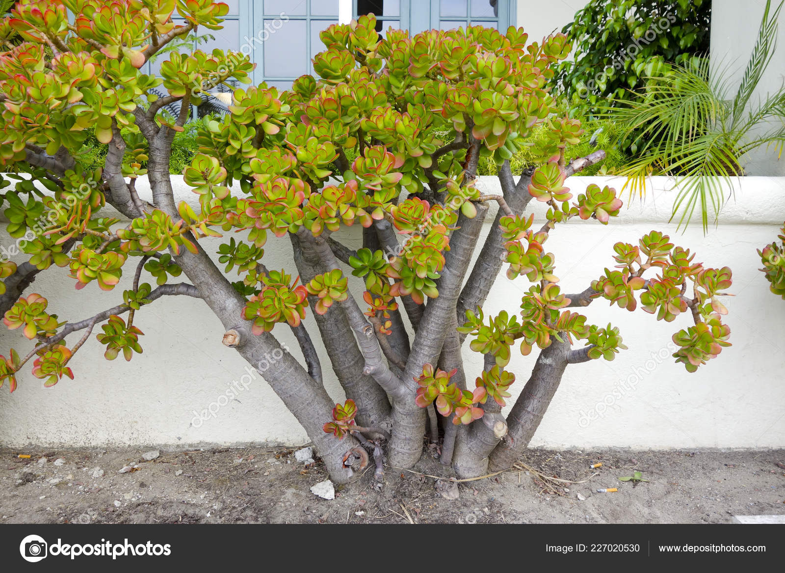 Portulacaria Afra Plant Popular Succulent Garden Plant Often Used Bonsai Stock Photo C Foto Toch 227020530