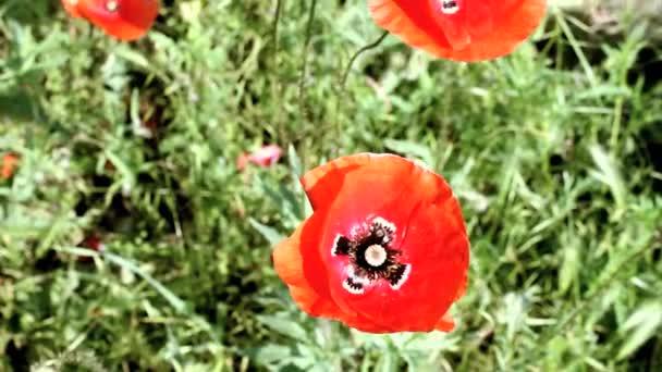 mák virág mező