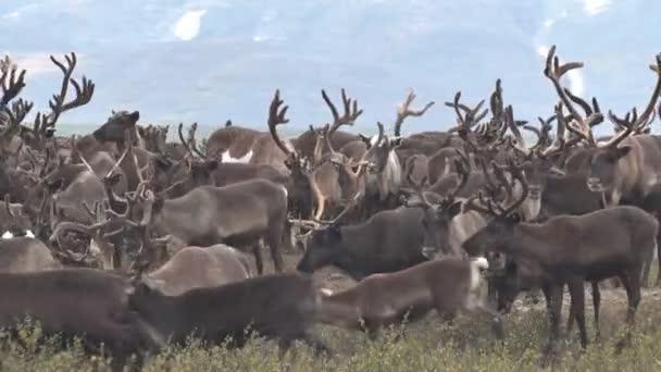Stádo sobů pastvy na pozadí Mountain.Herd sobů běžící na tundře proti hoře. Migraci jelena s velkými rohy