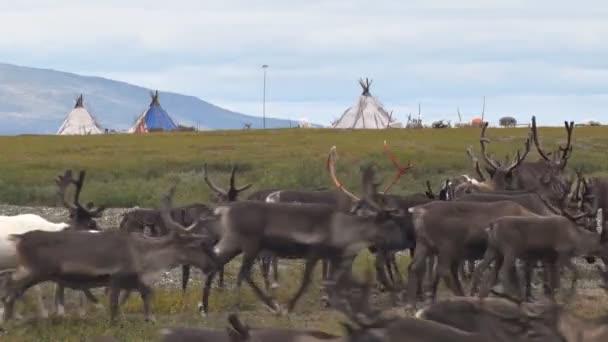 Sobi migrují na pozadí tábora pastevců sobů. Za stádo jelenů jsou wigwamy