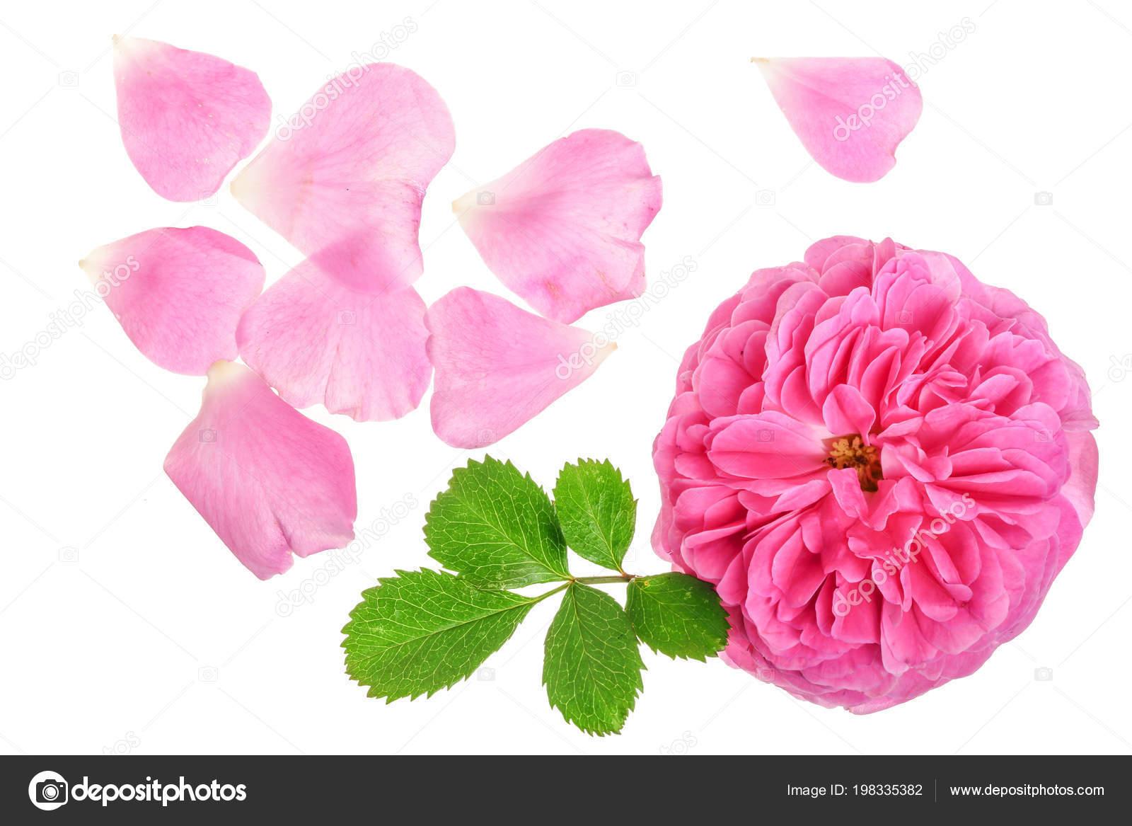Fleur De Fleur Rose Sauvage Isole Sur Fond Blanc Photographie