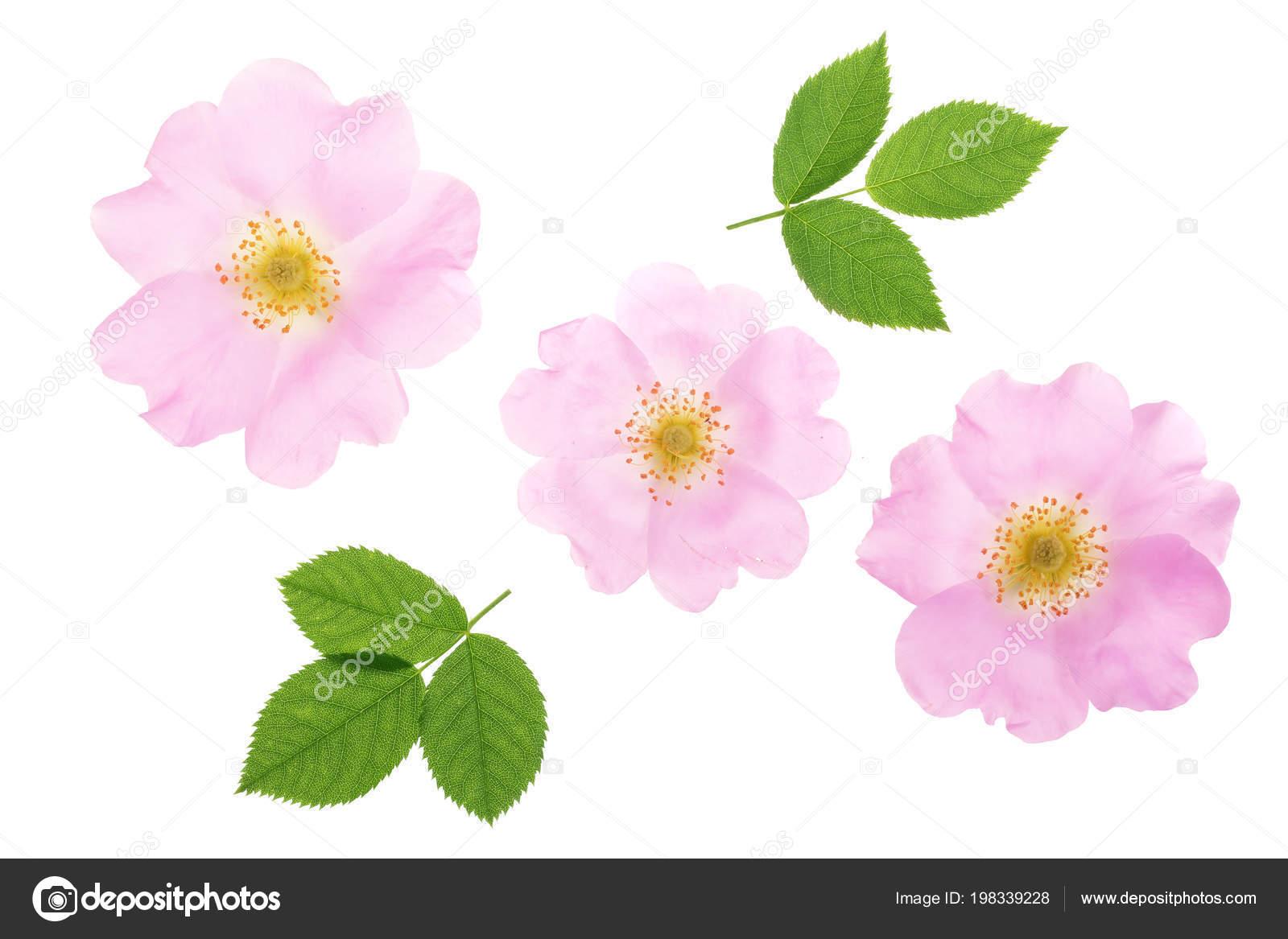 Fleur De Rose Musquee Avec Feuilles Isole Sur Fond Blanc Gros Plan