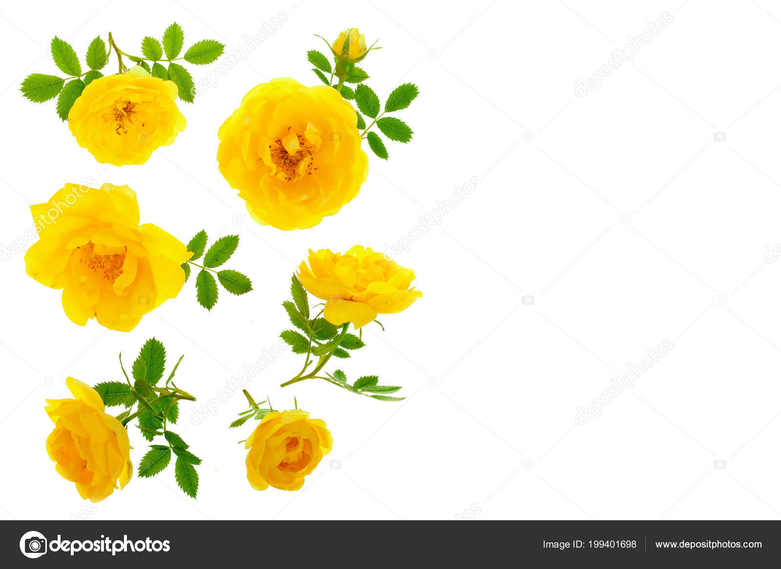 Wild Yellow Rose Blooming Flower Isolated On A White Background With