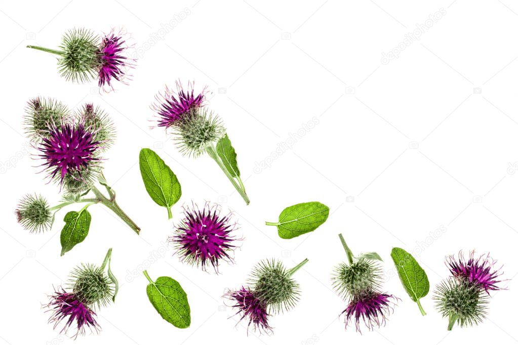 Burdock flower isolated on white background with copy space for your text. Medicinal plant: Arctium. Top view. Flat lay pattern