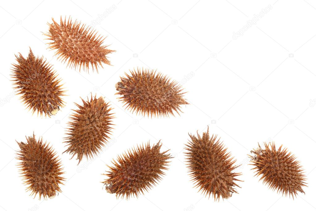 dry Xanthium strumarium isolated on white background has medicinal properties with copy space for your text. Top view. Flat lay pattern