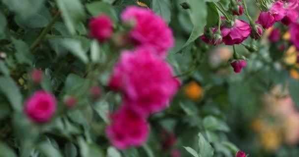 Růžové růže květiny na Bushe