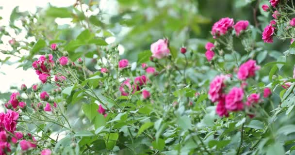 Mnoho růžové růže kvetou na Bushe