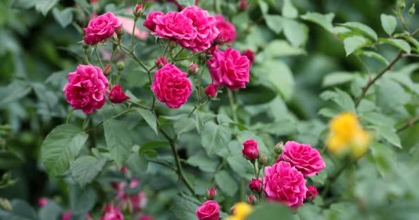 Számos rózsaszín rózsa virágos-Bush