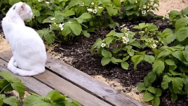A macska ül a bokrok között virágzó eper. Bogyóbokor a virágzási időszakban. Bogyófoltok.