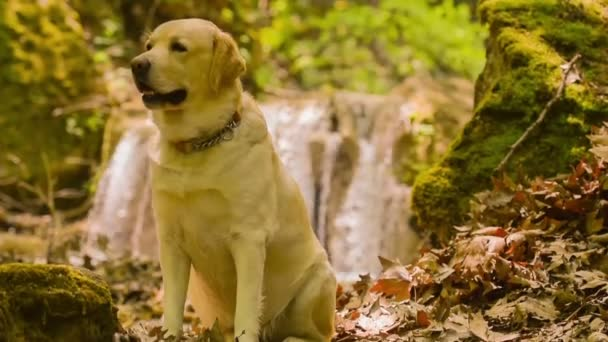 Labrador dog portrait standing in front of a waterfall.