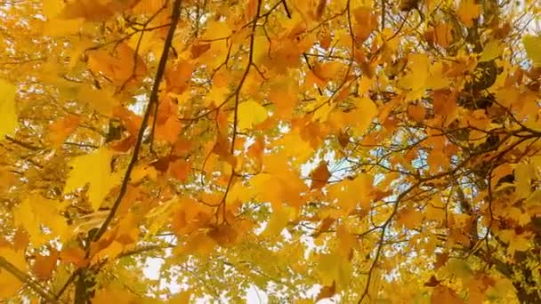 Deciduous tree in autumn season.