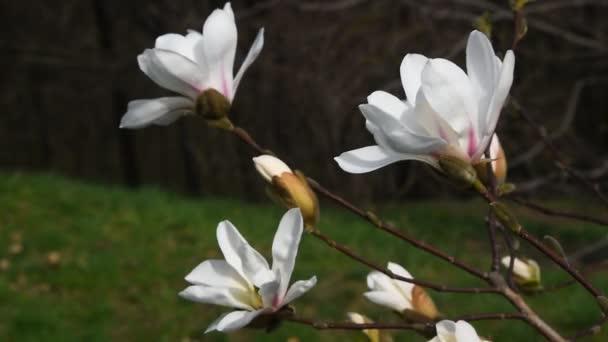Tři květy bílá magnolia s nové pupeny třást ve větru nad pozadí zelené trávy a stromů, boční pohled, zblízka, Full Hd 1080