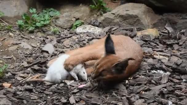 Zár megjelöl kilátás egy aranyos baba caracal cica játszik, ételek, halott fehér patkány, utánozva a vadászat, és kergeti áldozatát, alacsony szög