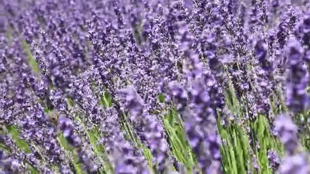 Detailní záběr pozadí Kvetoucí fialové levandule květiny pole, třepání ve větru, nízký úhel pohledu