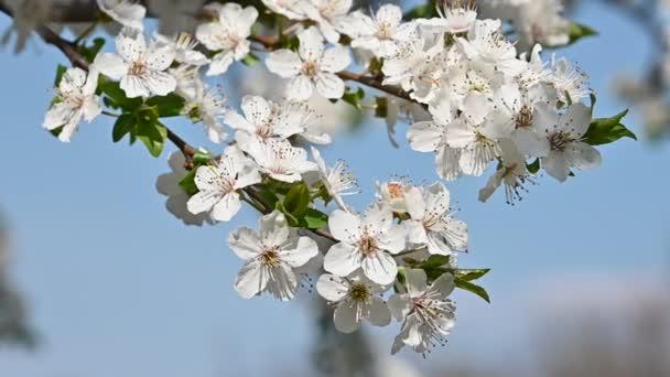 Közelről fehér cseresznye fa virágzik a tiszta, kék ég, alacsony látószögű nézet, lassú mozgás
