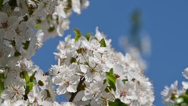 Uzavřít Kvetoucí strom s bílým nebem, nízkým úhlem pohledu, pomalý pohyb