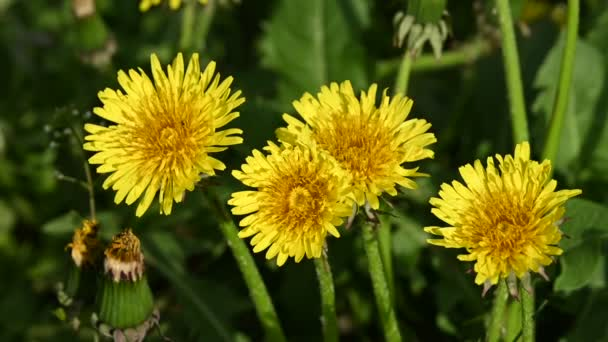Extreme close up several yellow dandelion flowers over green grass background, high angle view