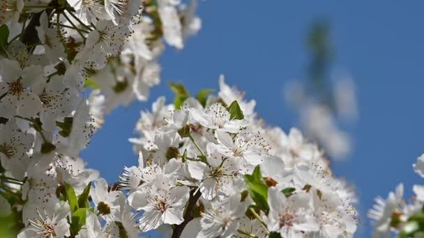 Közelről fehér cseresznyefa virágzik át tiszta kék ég alacsony látószögű nézet lassított