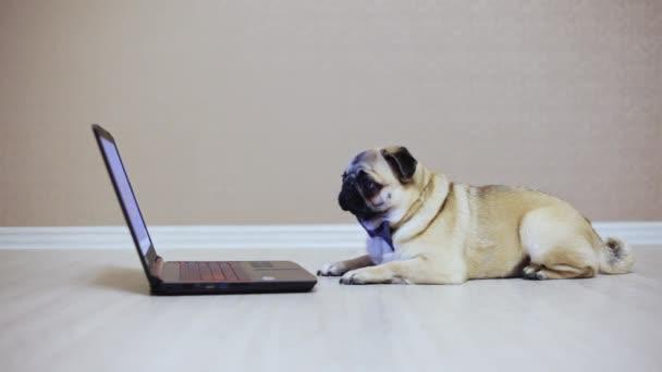 Egy aranyos mopszli kutya úgy néz ki, a képernyőn egy laptop számítógép, egy pillangó, nézni egy filmet, fáradt, oldalnézetből öltözött