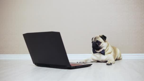 Roztomilý Mops pes se dívá na obrazovce přenosného počítače, oblečený v motýla, sledovat film, štěká na laptop