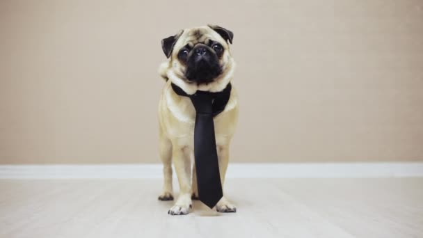 An elegant funny pug dog standing dressed in a tie for a wedding or as an office worker