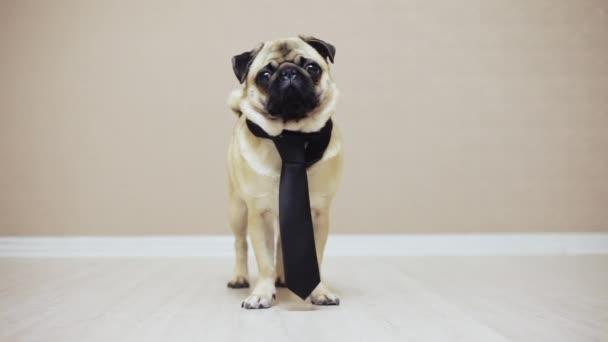 Elegantní legrační Mops pes stojící oblečený v kravatě na svatbu nebo jako administrativní pracovník